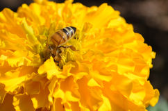 Bee and yellow flower Stock Photos
