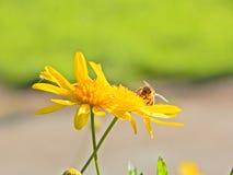 Bee on yellow flower Stock Photos