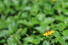 The bee. Bee on the yellow flower in garden Royalty Free Stock Photo