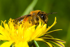 Bee in yellow flower. Stock Photography