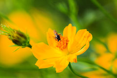 Bee on Yellow Flower. With green background in garden Royalty Free Stock Photo