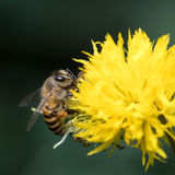 Bee with Yellow Flower Stock Photos