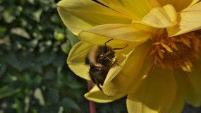 Bee and yellow flower in the green garden Stock Photo