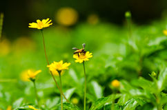 Bee and yellow flower in green nature Royalty Free Stock Photo