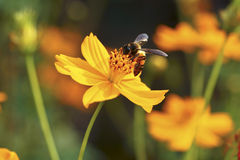 Bee on Yellow Flower. Honey Bee on Yellow Flower, Close Up Macro Stock Images
