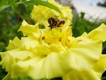 In the summer garden. wasp collects nectar on a yellow flower garden. Stock Photos