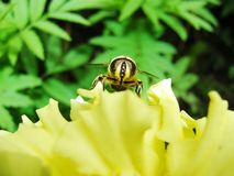 In the summer garden. wasp collects nectar on a yellow flower garden. Royalty Free Stock Image