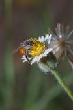Bee on the yellow flower. Stock Image