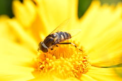 Bee on yellow flower. Macro photo of bee on yellow flower Royalty Free Stock Images