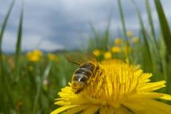 Bee on yellow flower. Macro shot of bee on yellow flower Royalty Free Stock Photography