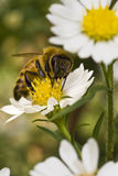 Bee on yellow flower at midday Royalty Free Stock Photos