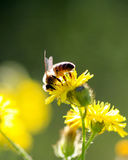 Bee on a yellow flower on a morning sun. Image of a bee on a yellow flower on a morning sun royalty free stock photos