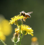 Bee on a yellow flower on a morning sun. Image of a bee on a yellow flower on a morning sun stock images