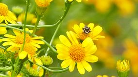 Bee on yellow flower. stock video footage