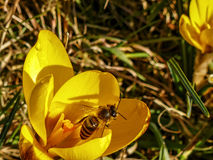Bee in a yellow flower Stock Photography