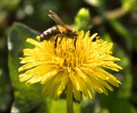 Bee. On yellow flower,  is pollinating the flower Stock Photo