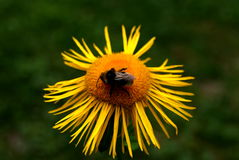 Bee yellow flower Royalty Free Stock Photography