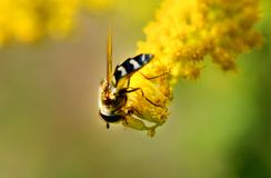 Bee on the yellow flower Royalty Free Stock Photography