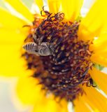 Bee yellow flower of a sunflower Royalty Free Stock Images