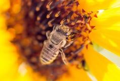 Bee yellow flower of a sunflower Stock Photos