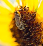 Bee yellow flower of a sunflower Royalty Free Stock Image