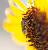 Bee yellow flower of a sunflower. In the open air royalty free stock image