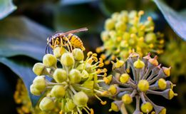 Bee on a yellow flower stock photography