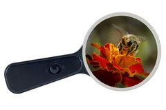Bee and yellow flower under the magnifying glass, clipping path Royalty Free Stock Photos