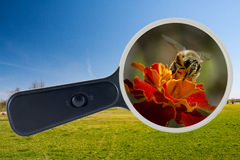Bee and yellow flower under the magnifying glass, clipping path Royalty Free Stock Photo