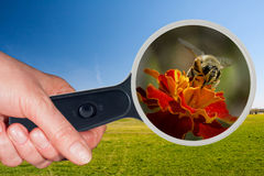 Bee and yellow flower under the magnifying glass Stock Images