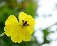 Bee on a yellow flower. With water drops after rain against green background in the garden Royalty Free Stock Photo