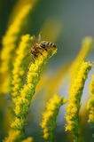 Bee on Yellow Flowers Royalty Free Stock Image