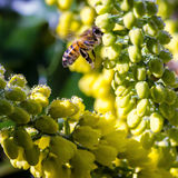 Bee on the yellow flowers Royalty Free Stock Images