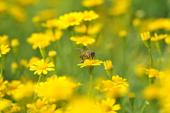 Bee and yellow flowers Royalty Free Stock Photography