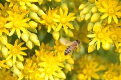 bee and yellow flowers Stock Images
