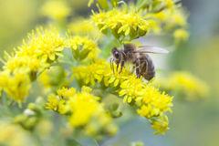 Bee between yellow flowers Royalty Free Stock Photos