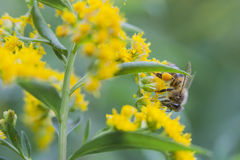 Bee on yellow flowers Stock Images