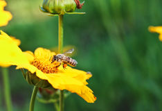 Bee and yellow flowers in a park. On spring Royalty Free Stock Images