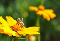 Bee and yellow flowers in a park. On spring Stock Images