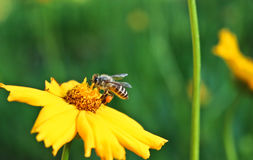 Bee and yellow flowers in a park. On spring Stock Photo