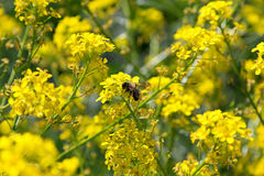 The bee, the yellow flowers are pollinated Stock Images