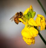 A bee on yellow flowers sucking nectar stock images