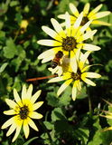 Bee and yellow flowers. A working bee flies over group of yellow flowers stock photo