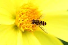 Bee on yellow georgina flower Stock Image