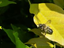 Bee on a yellow leaf royalty free stock photos