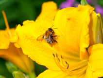 Bee on a yellow lily Royalty Free Stock Image