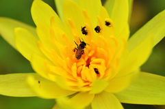 Bee on yellow lotus Stock Image