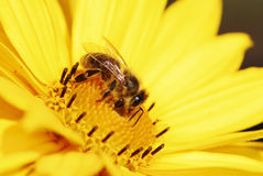 Bee On Yellow Maruertie Flower Stock Photography