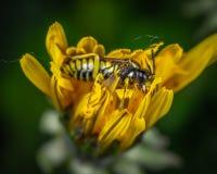 Bee on Yellow Petaled Flower stock photography