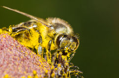 Bee in yellow pollen collecting honey. Stock Photo